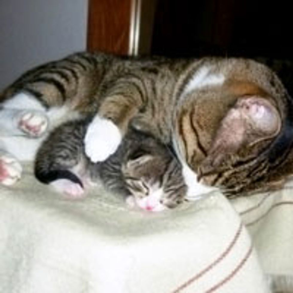 Father Cat Loves and Protects Little Ones