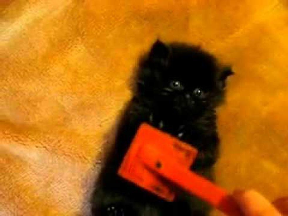Tiny Fuzzy Kitty Gets Brushing