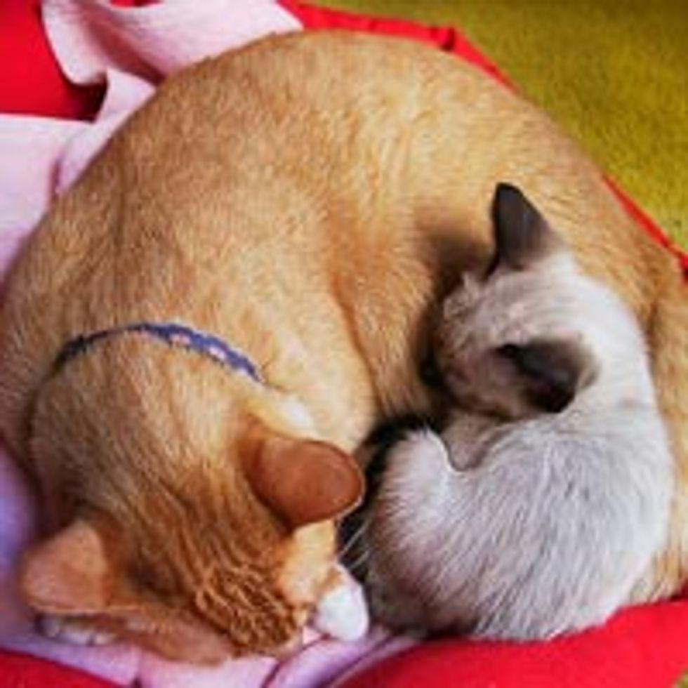 Ginger Kitty Snarf Adopts Little Kitten Kiki