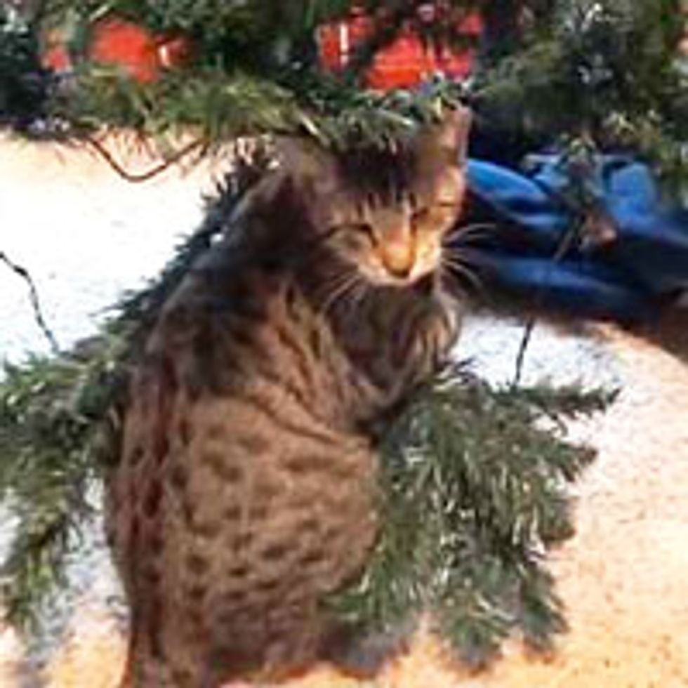 Oskar the Blind Kitty Helps with Christmas Tree