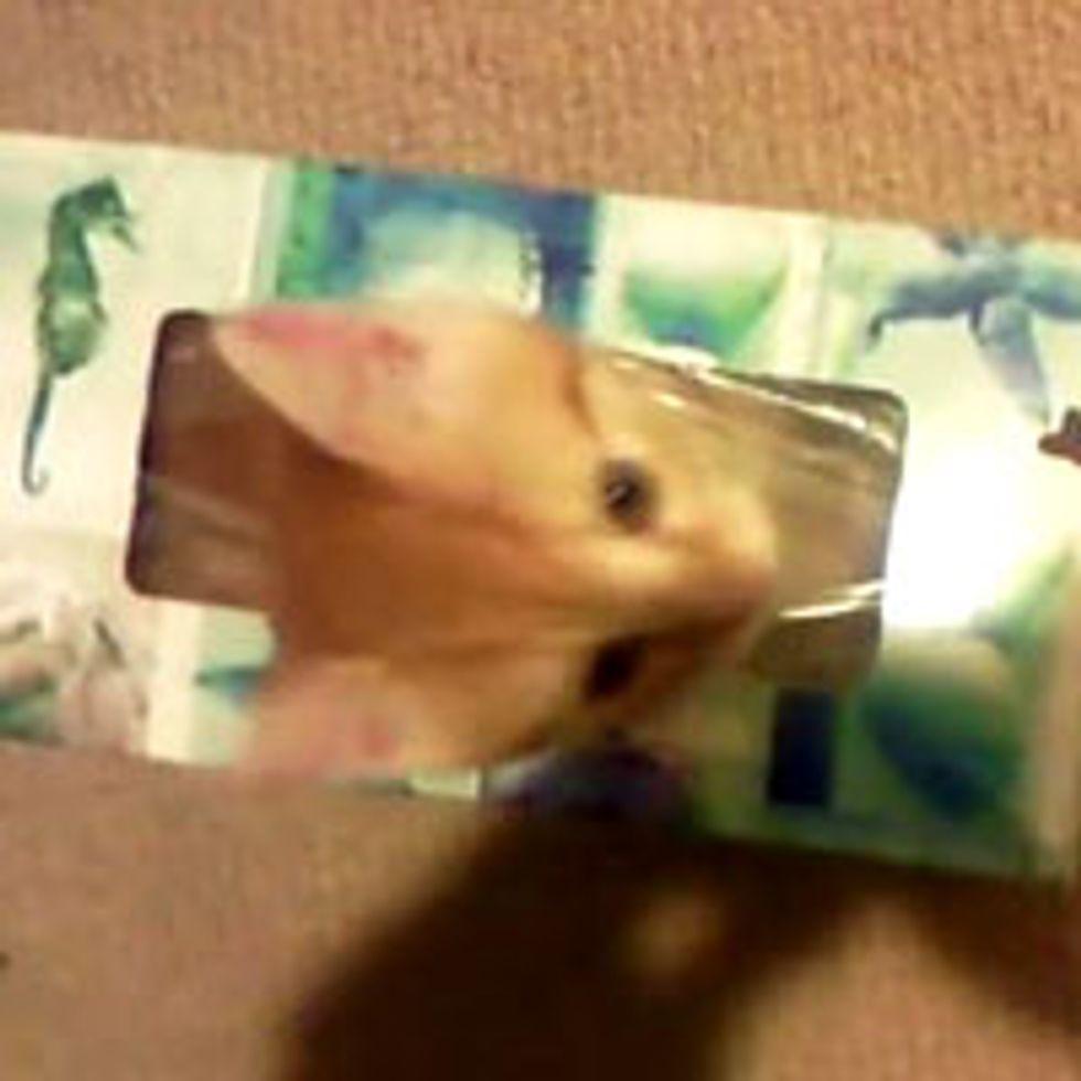 Hidey Kitten in Tissue Box