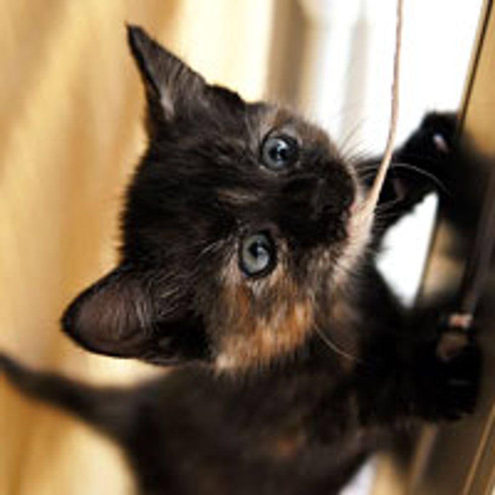 Curious Little Rescue Tortie Investigates String