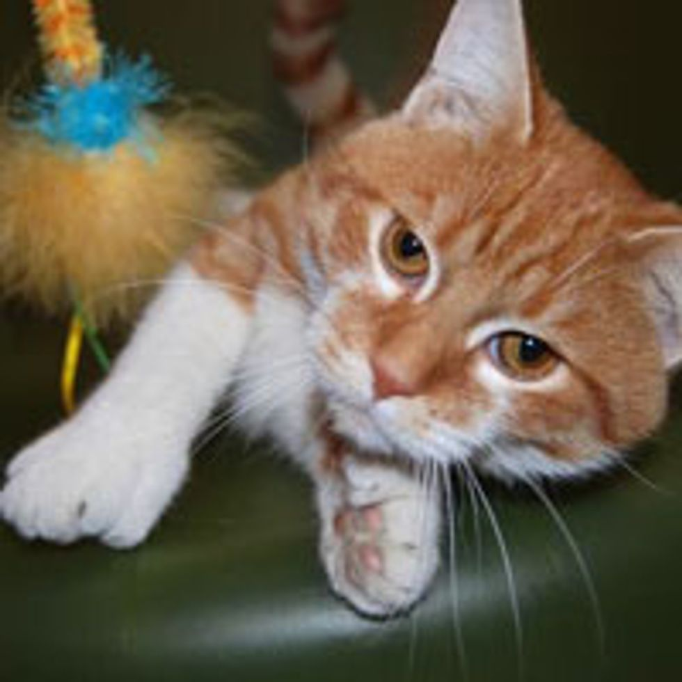 Daniel the 26-toe Cat Helps His Shelter