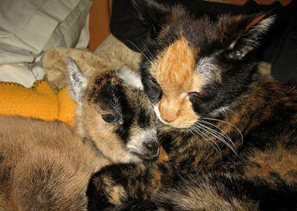 Tortie Cat Becomes Surrogate Mom to Orphan Baby Goat