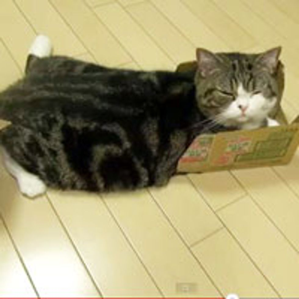 Maru and His Cardboard Obsession!