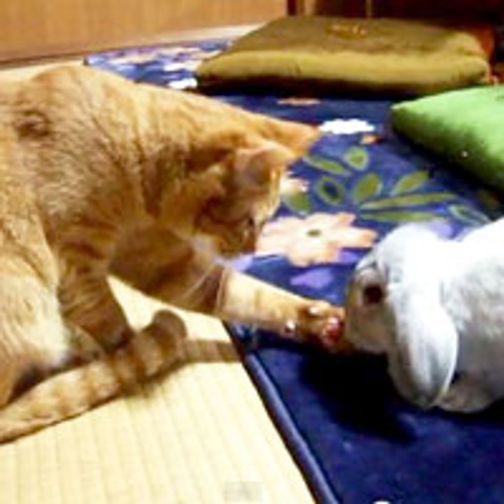 Kitty Greets Bunny with Paw Shake