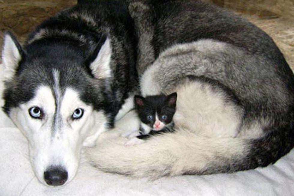 Tiny Tuxedo Kitty Adopted by Siberian Husky Dog
