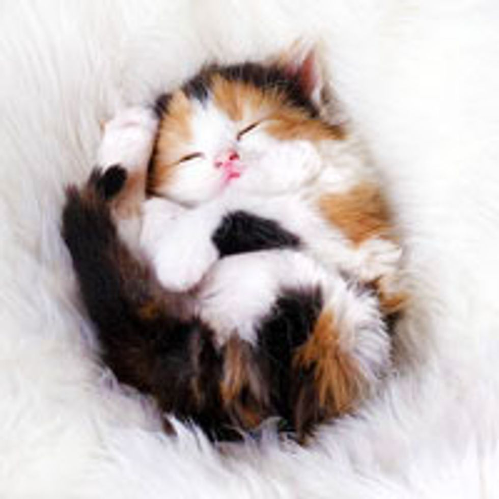 Teeny Calico Curls Up for a Cat Nap