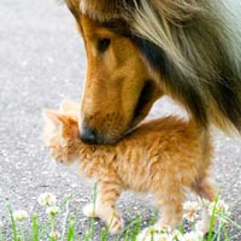 Tiny Ginger Finds Protective Canine Furiend
