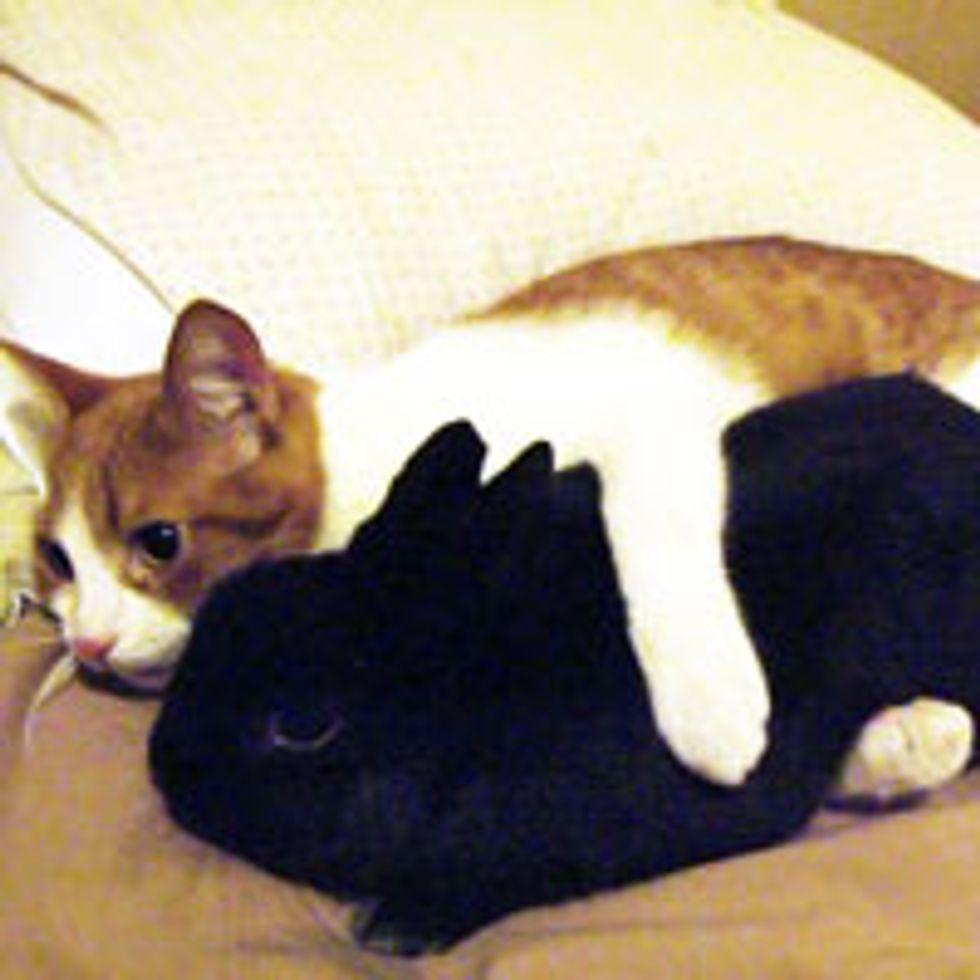 Kitty Cuddles Pet Bunny