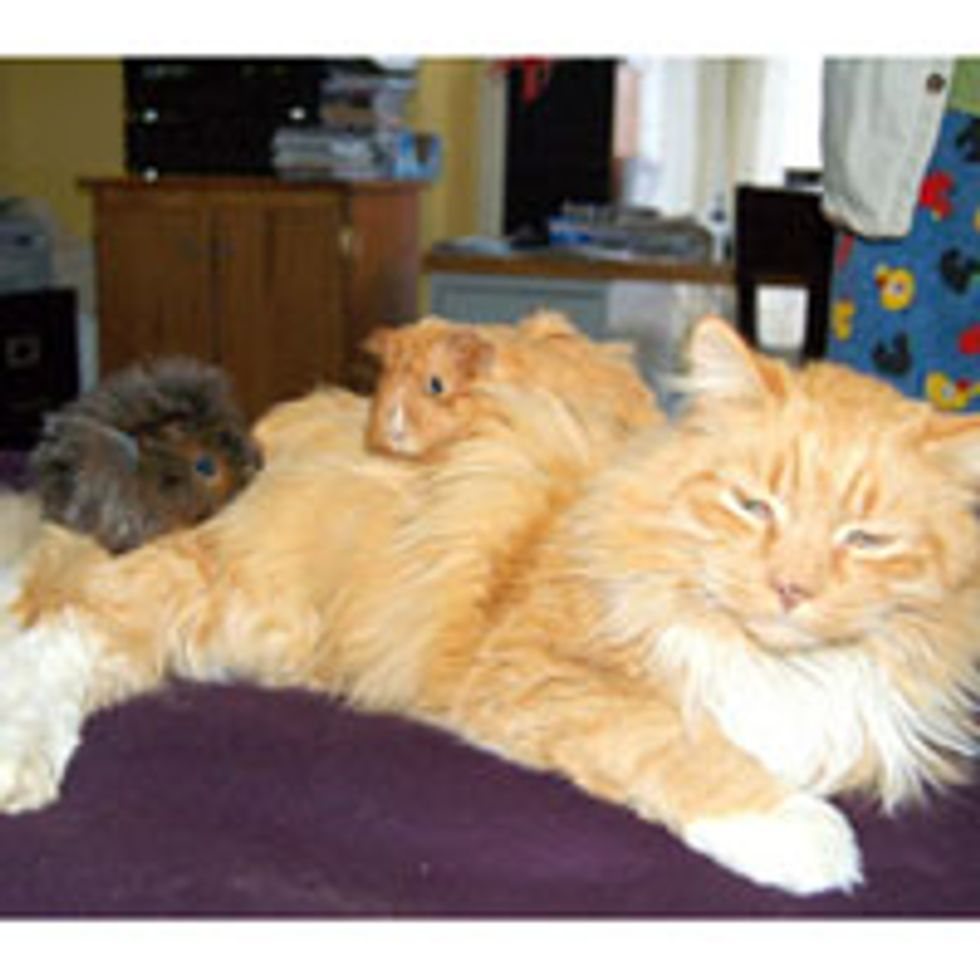Fluffy Ginger Keeps Guinea Pigs Warm
