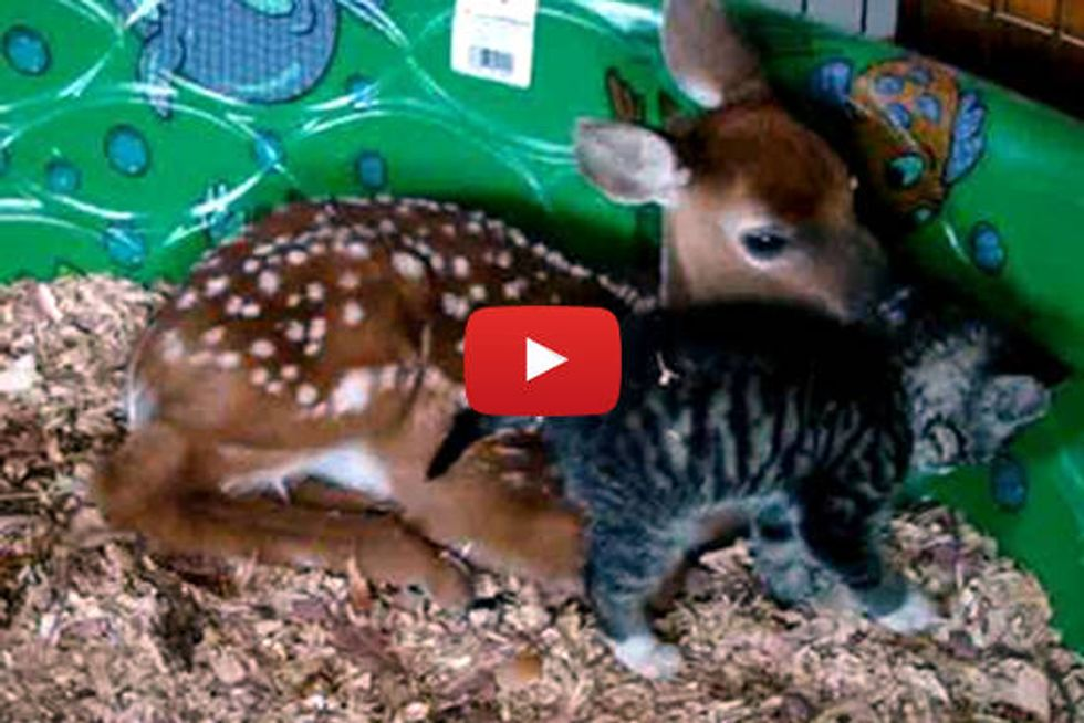 Little Kitty Snuggles with a Deer Friend