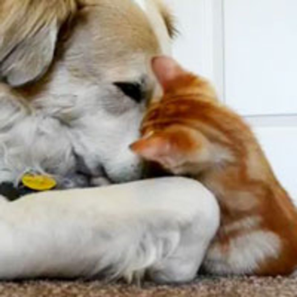 Kitten Snuggles and Plays with Dog Papa