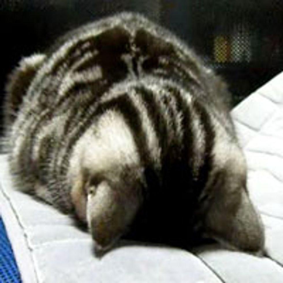 Kitty Face Plants into a Nap