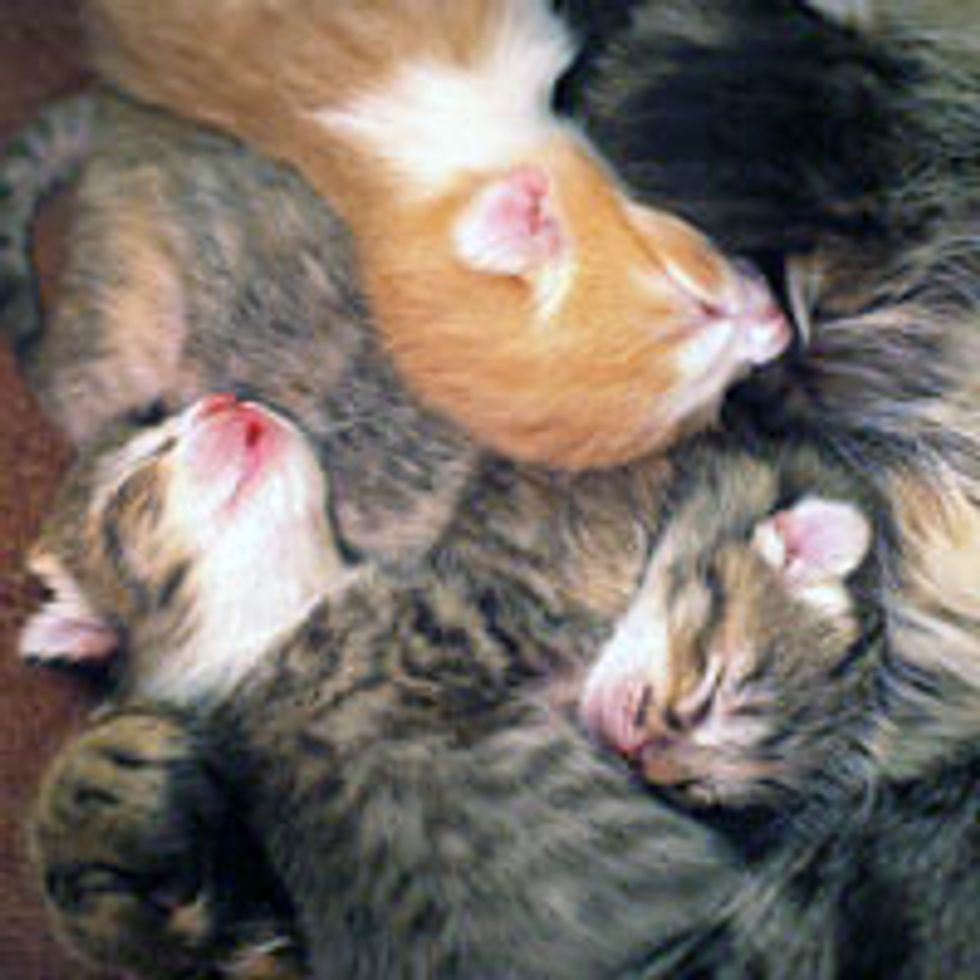 Teeny Fuzzy Kittens' First Food Coma