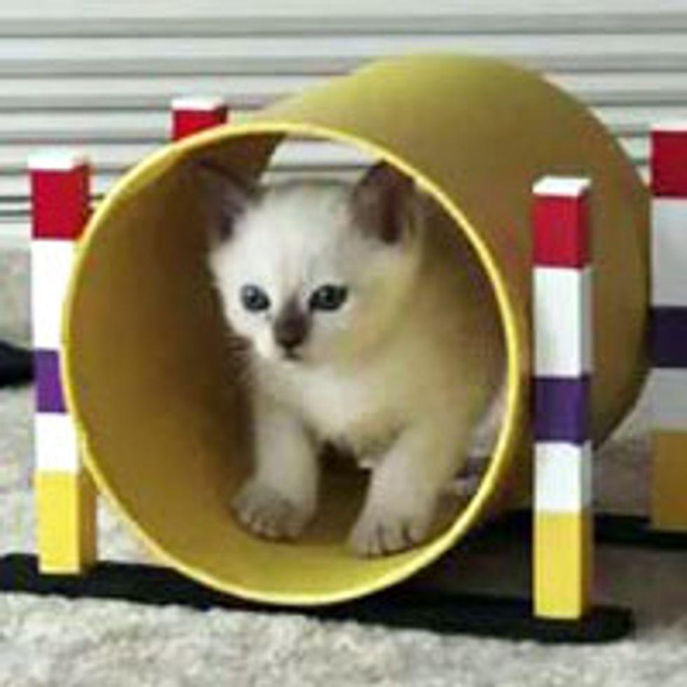 Kitty Does Agility Training the Feline Way