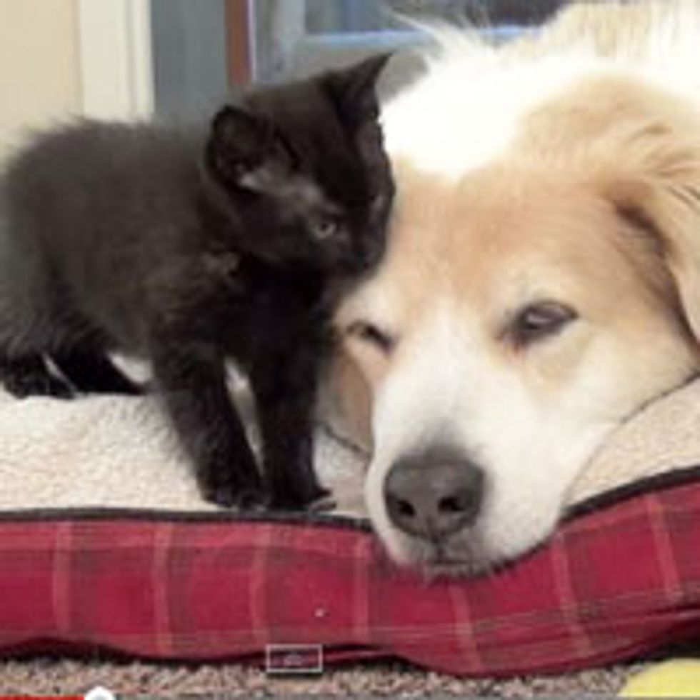 Foster Kittens Bathe Big Dog