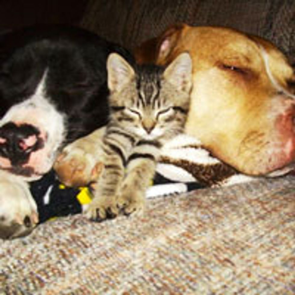 Kitty and His Doggie Bodyguards