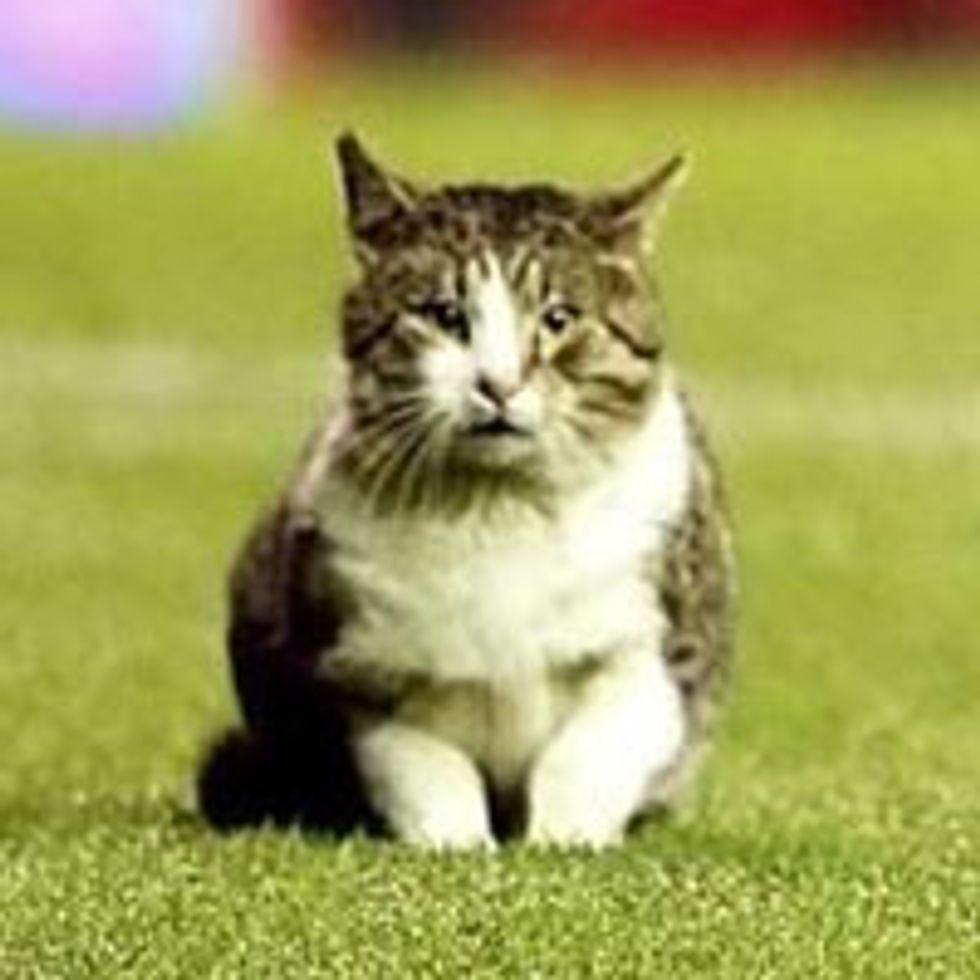 Tabby Cat Interrupts Football Match