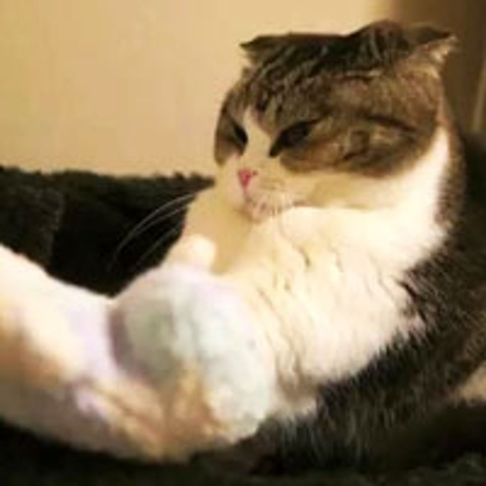 Kitty Gives Pillow Serious Kneading