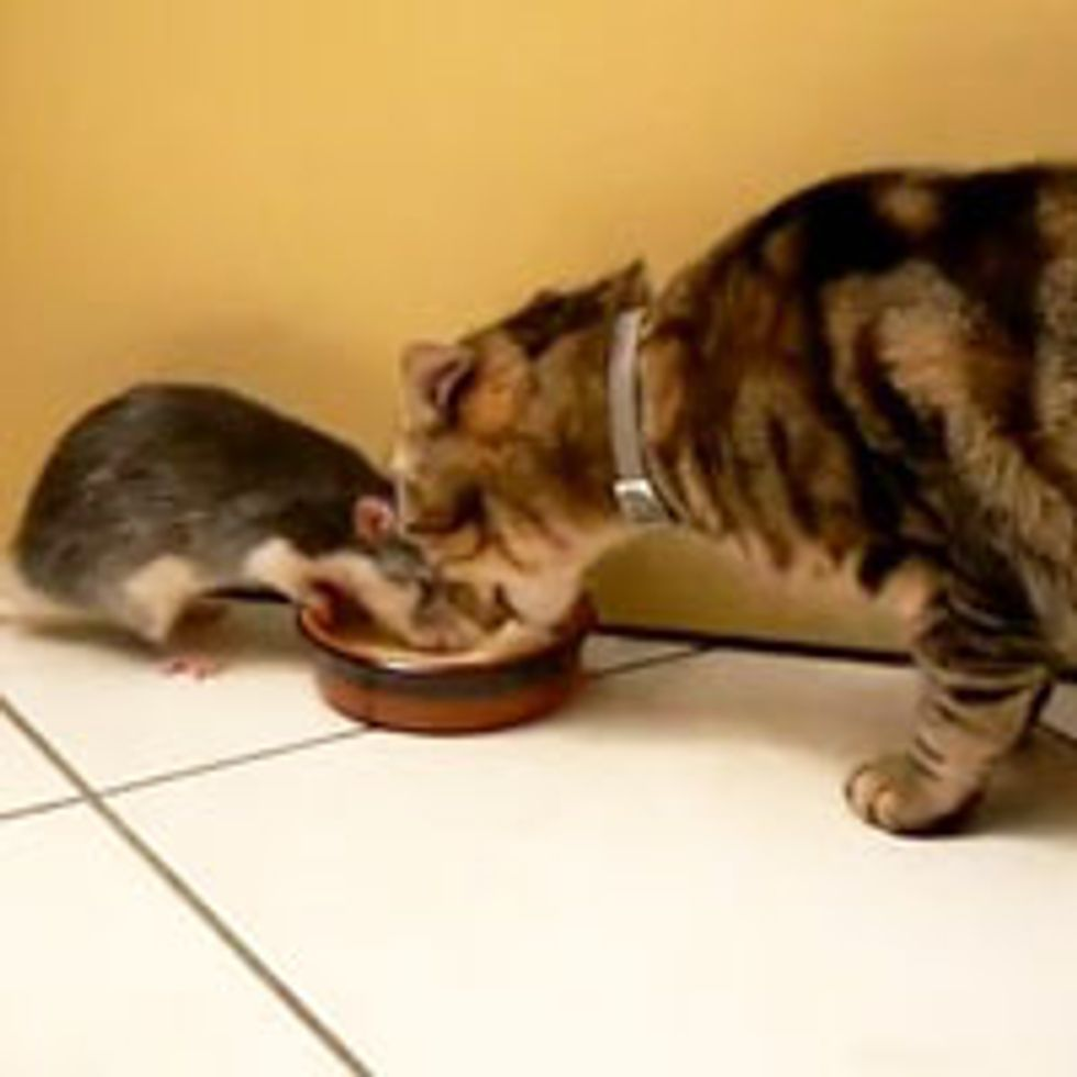 Kitty Shares Food with Rat