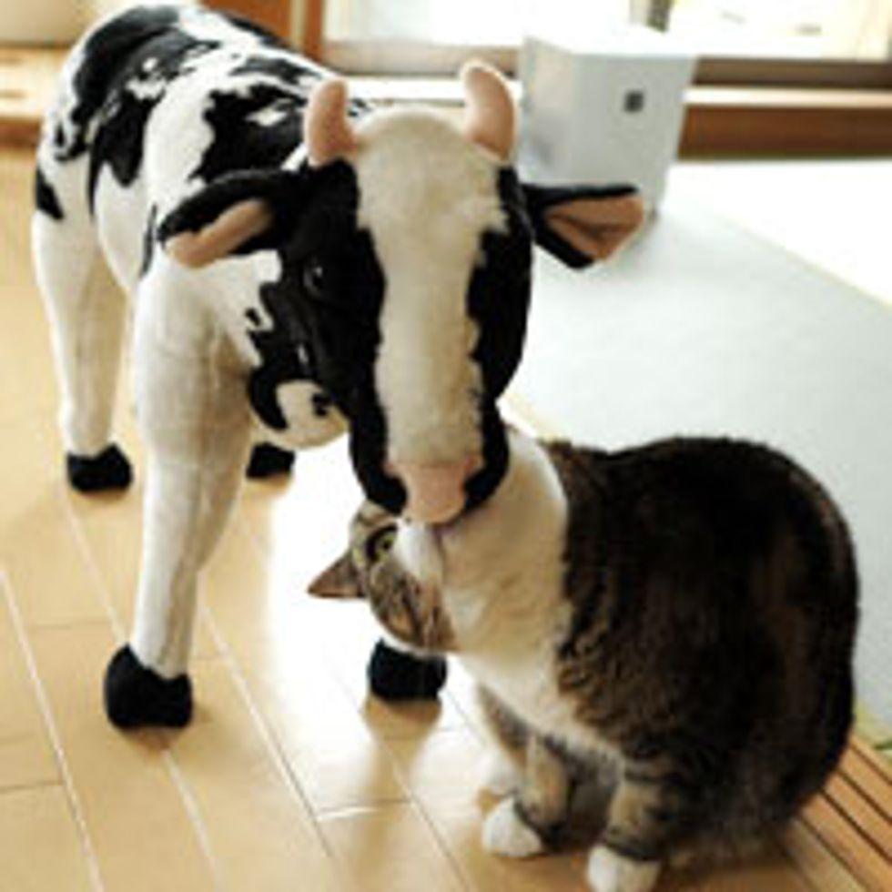 Maru's New Cow Friend
