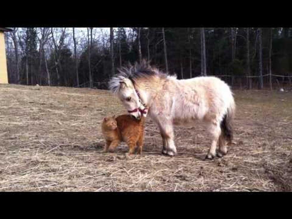 Ginger Cat Meets Miniature Horse