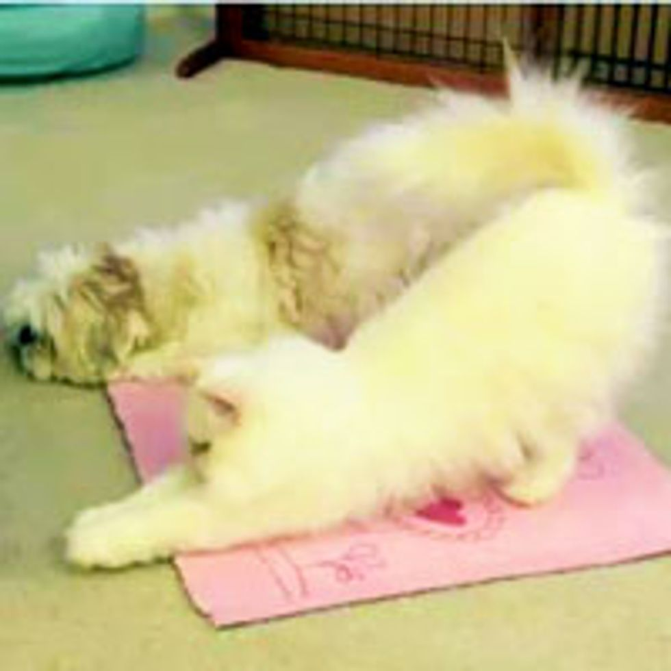 Kitty and Doggie Do Yoga Trick Together