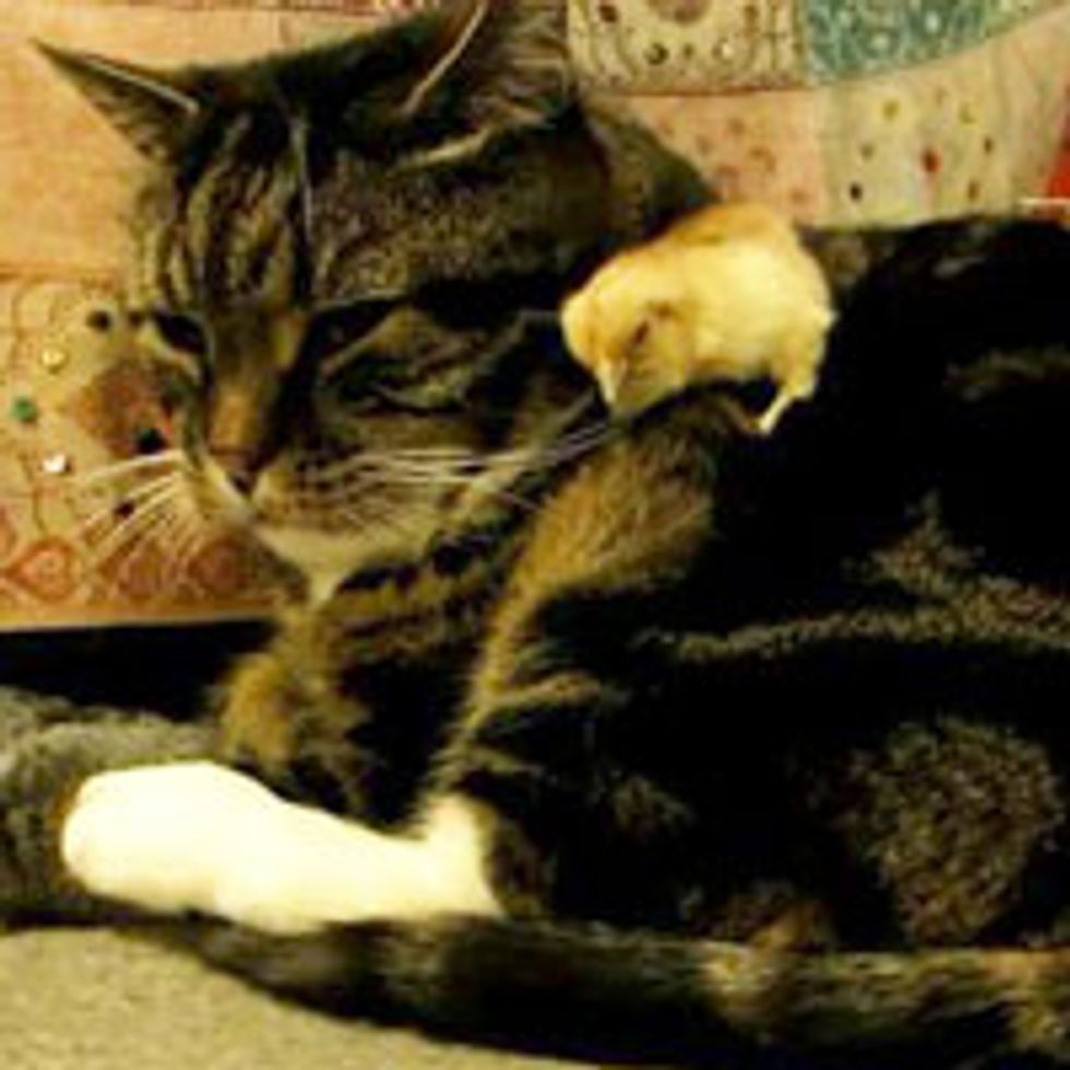 Baby Chick Falls Asleep on Cat