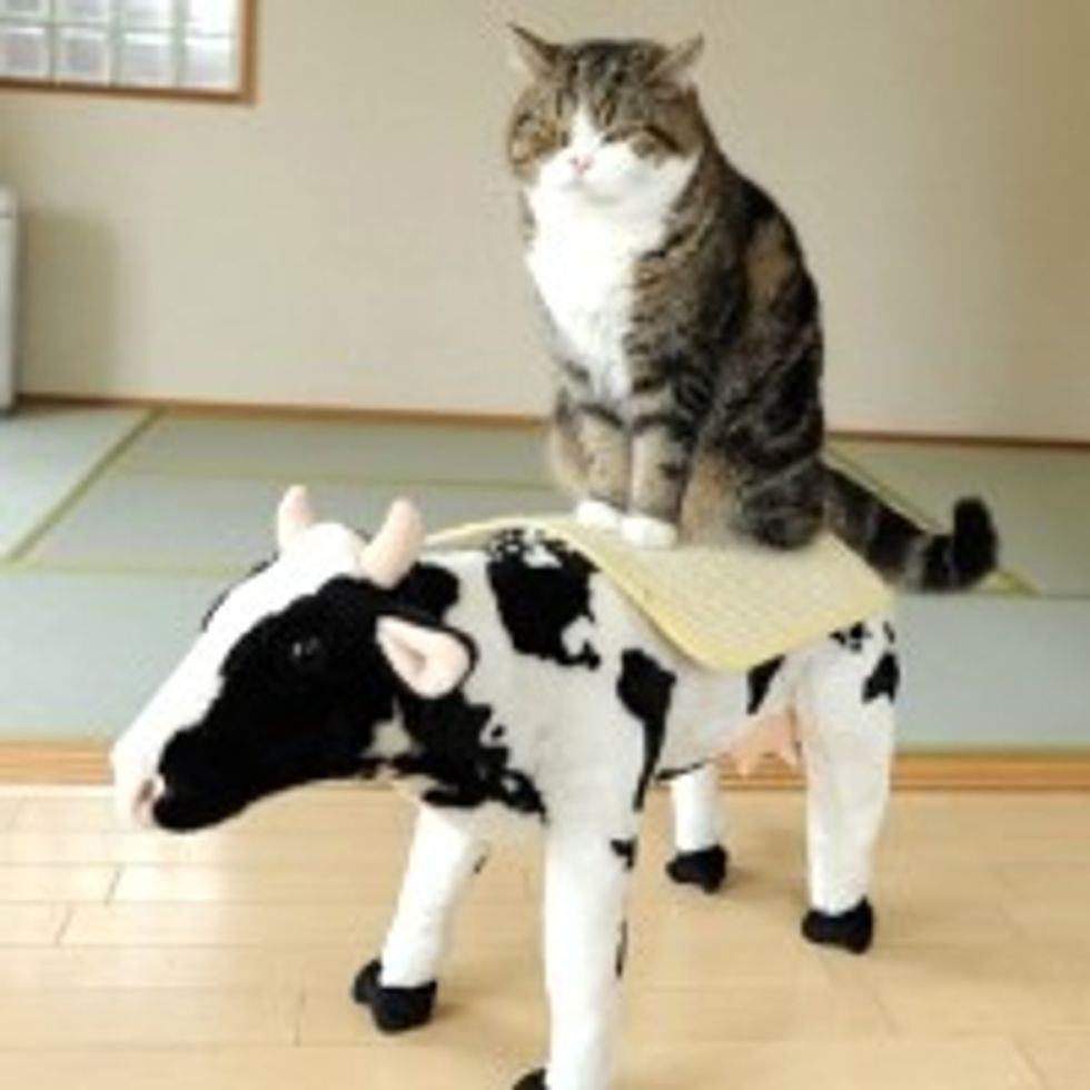 Maru and His Noble Steed the Cow