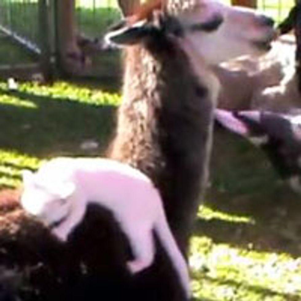 Kitty Finds Llama to Be Mama