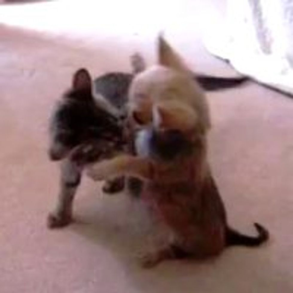 Kitten Plays with Chihuahua Puppy