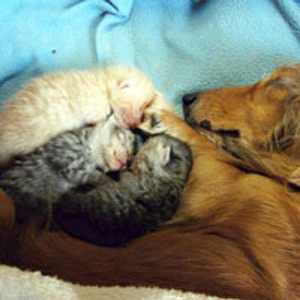 Orphan Kittens Find Surrogate Dog Mom