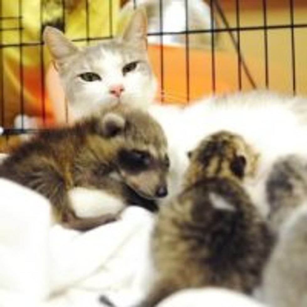 Mama Cat Adopts Rescue Baby Raccoon