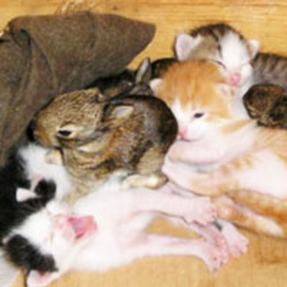 Kitty Family Takes in Baby Bunnies