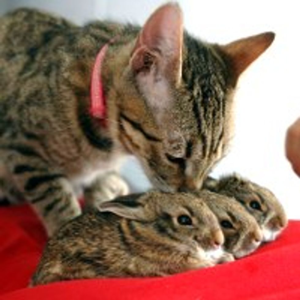 Tabby Kitty Adopts Bunnies