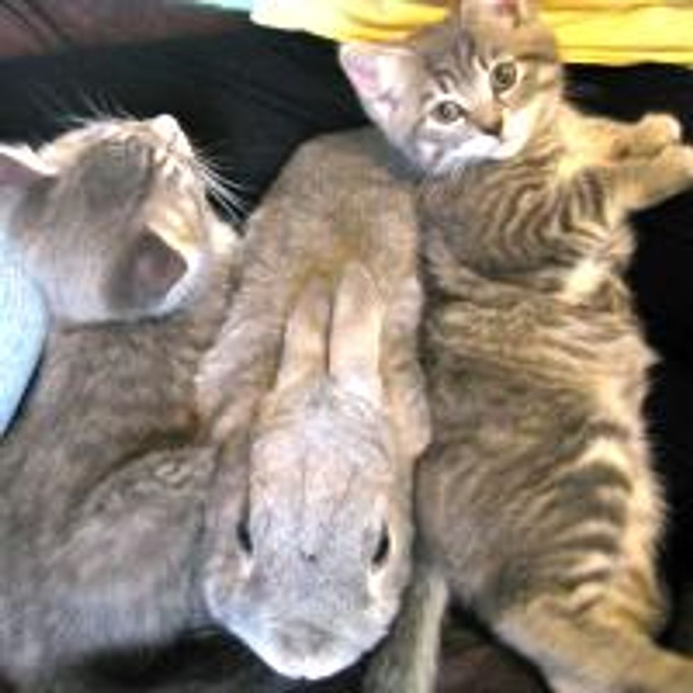 Kittens Giving Bunny Snuggle Sammich
