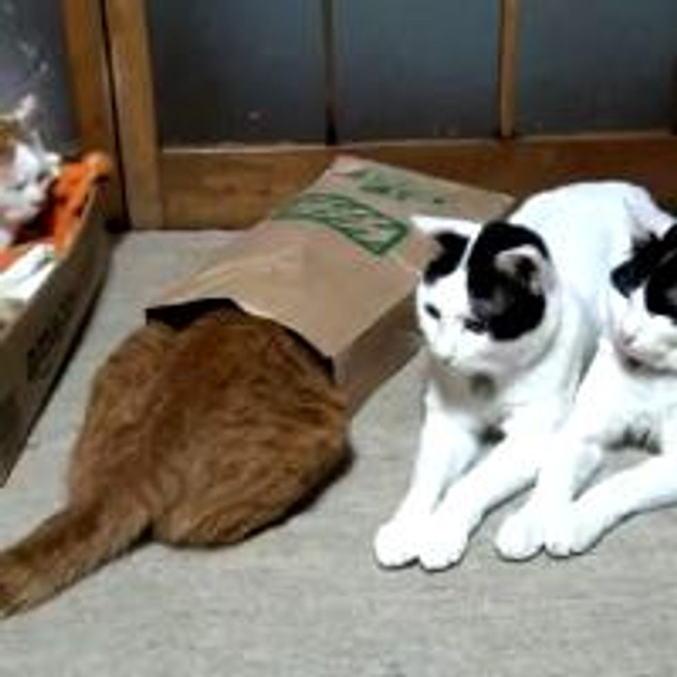 Bags are Like Magnets to Cats.