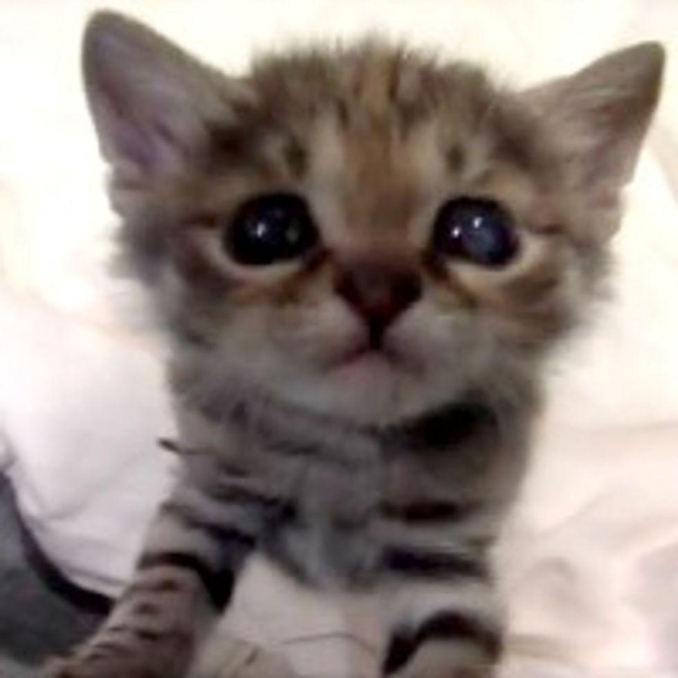 So Cute It Hurts: Black-Footed Kitten at Brookfield Zoo