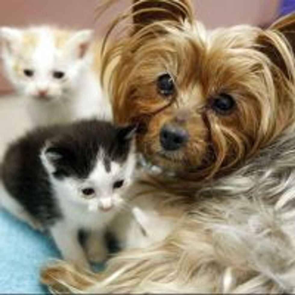 Litter of Kittens Adopted by Yorkie Mom