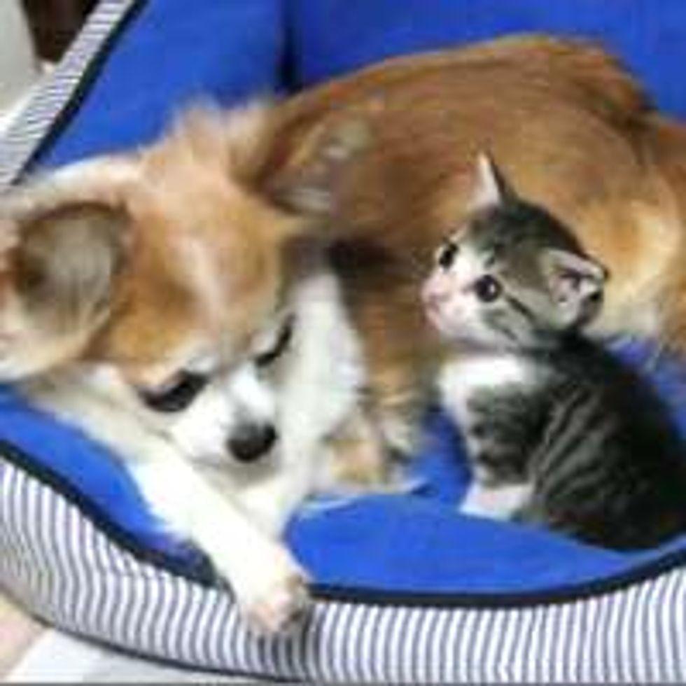Teeny Kitten Loves Her Chihuahua