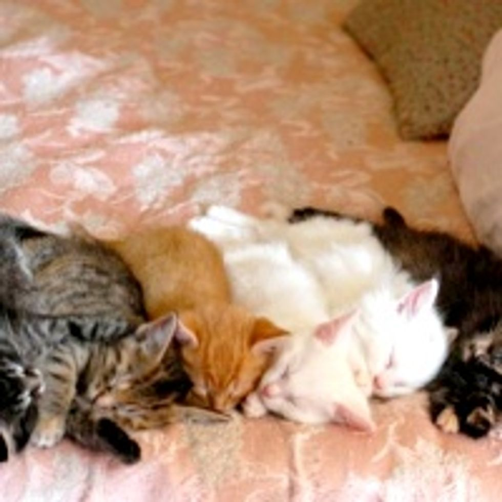 Six Foster Kittens Lined Up for Nap Time