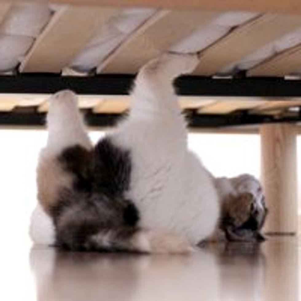 Spider Cat Lurking Under the Bed