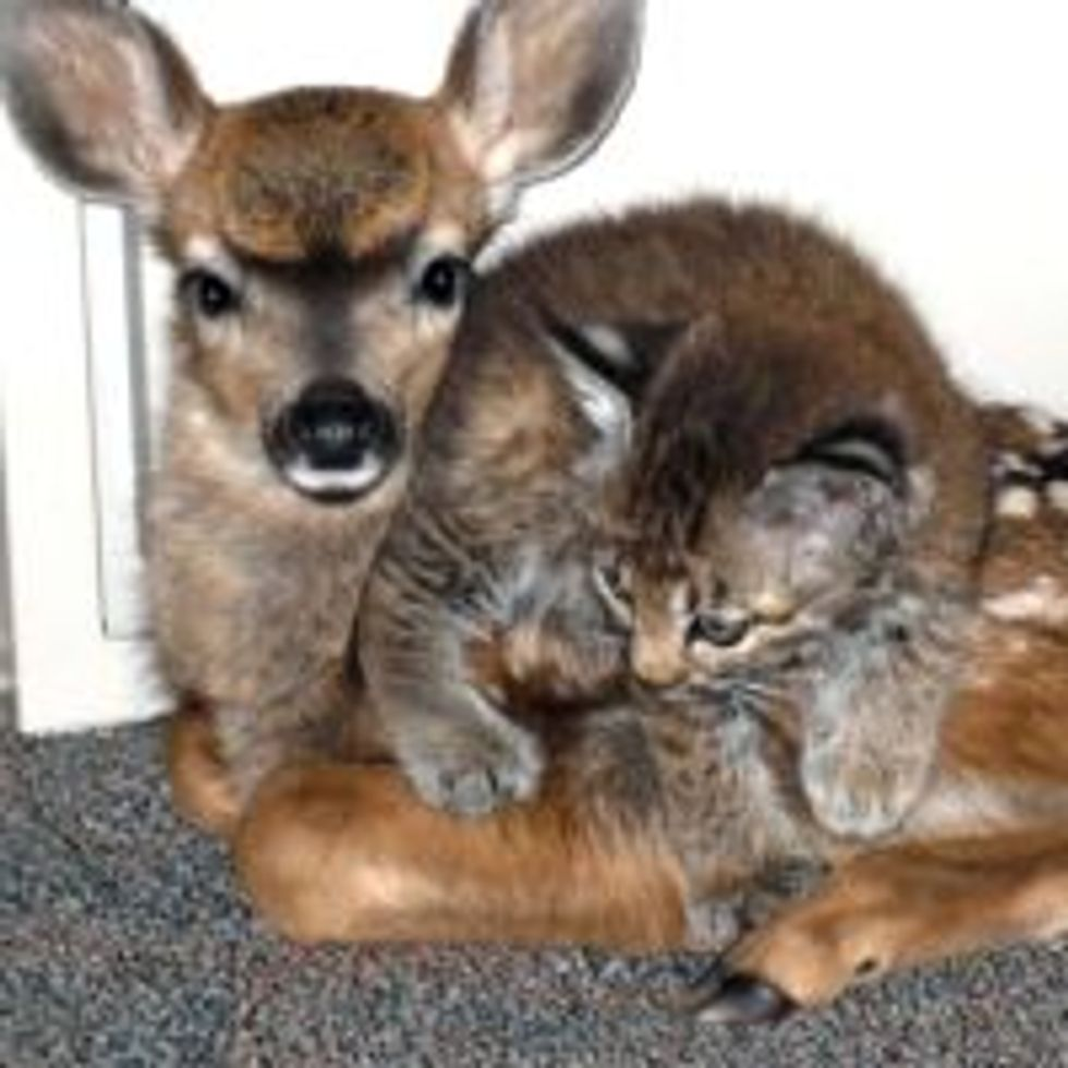 Bobcat Kitten and 3 Day Old Fawn Take Shelter Together After Wild Fire