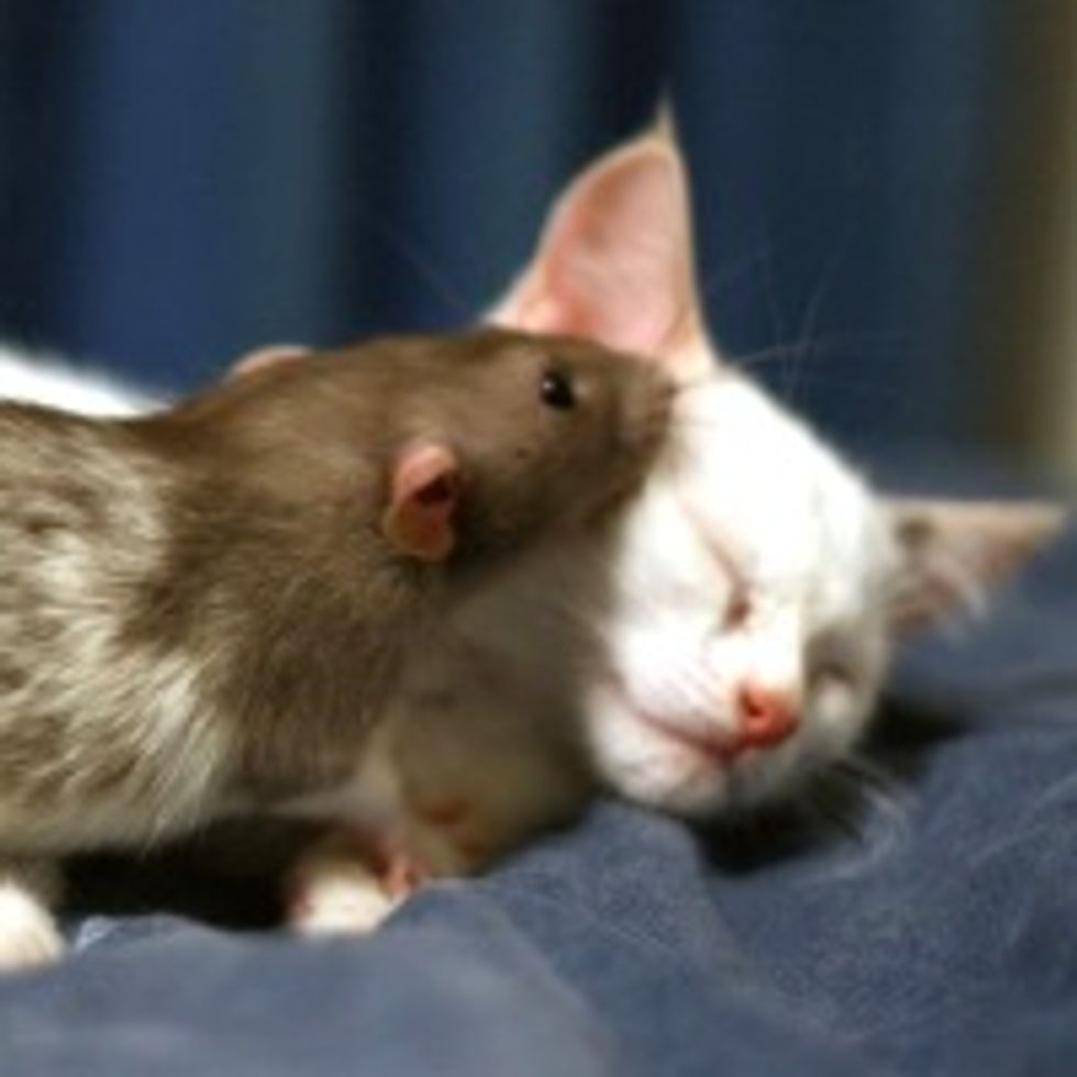 Adopted Kitten and Pet Rat Become Instant Best Friends