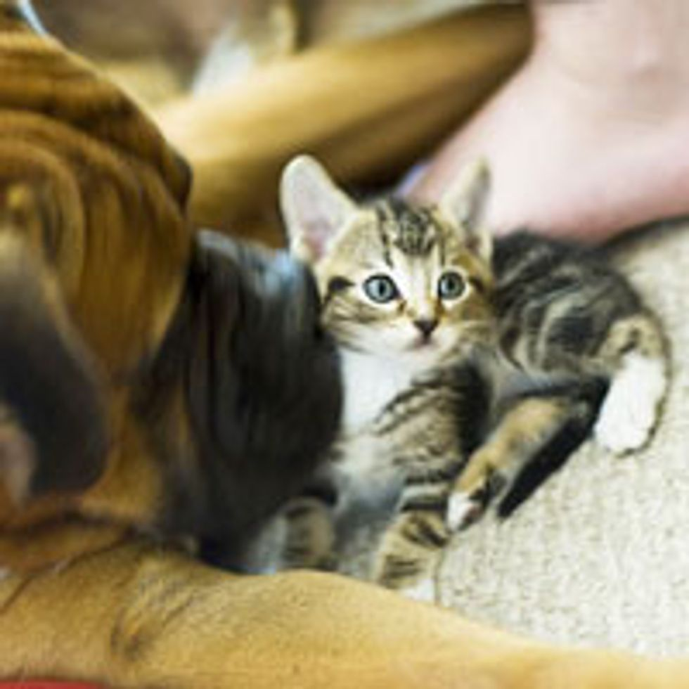 Orphan Kitty Finds Boxer to Be His New 'Mom'