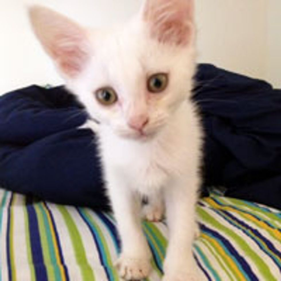 Tiny White Kitty with Radar Ears Found at Construction Site
