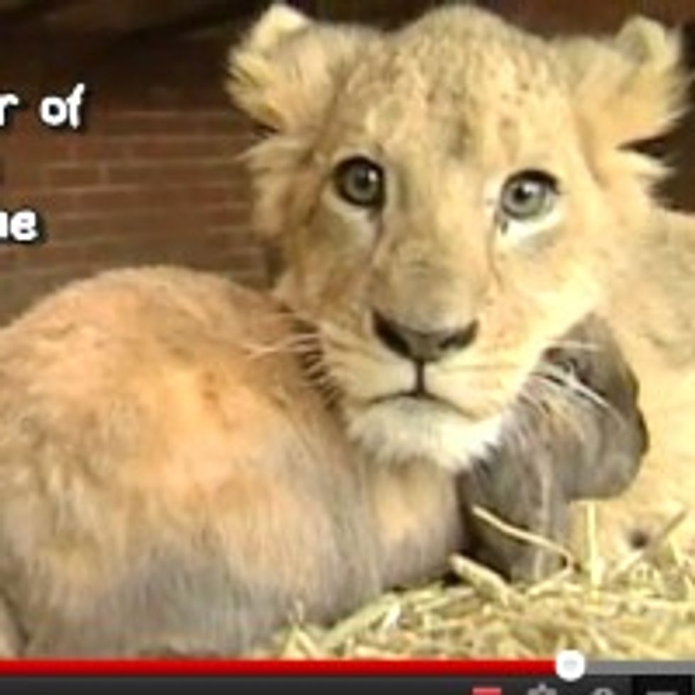 Simba the Lion Cub Befriends Dog and Rabbit