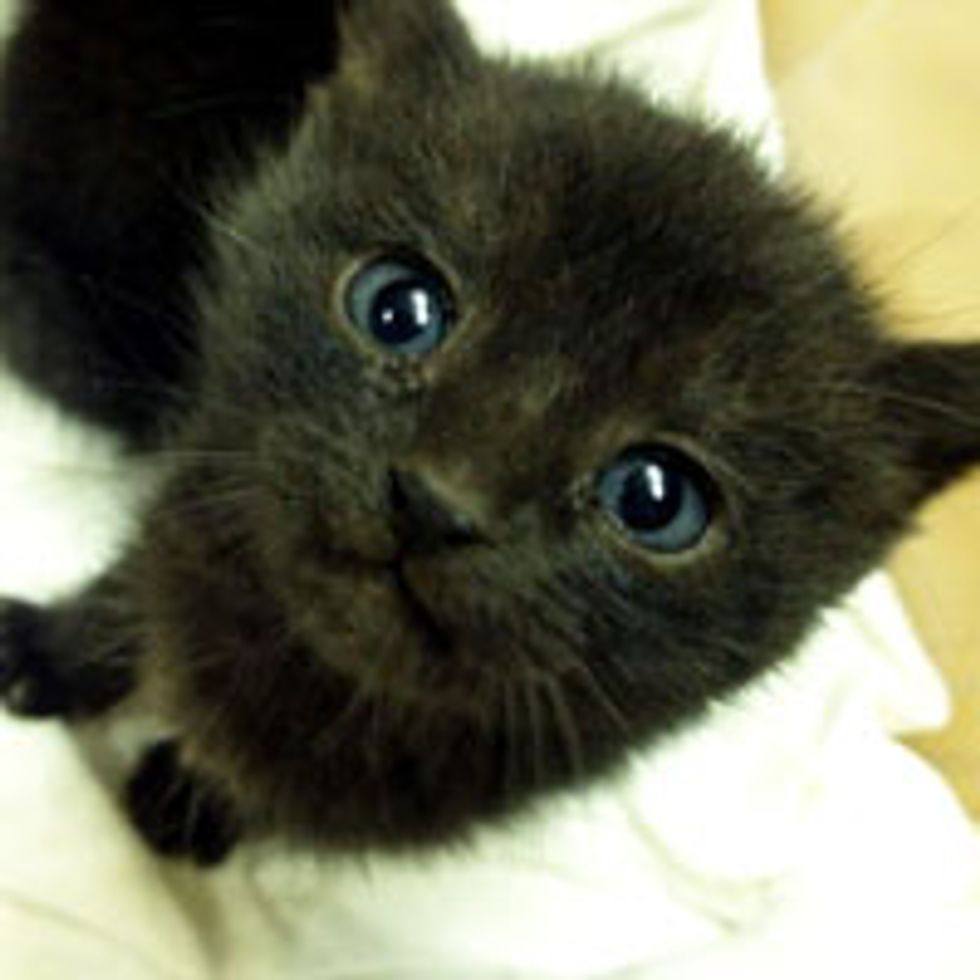 Three Rescue Black Kitties from Bush to Home