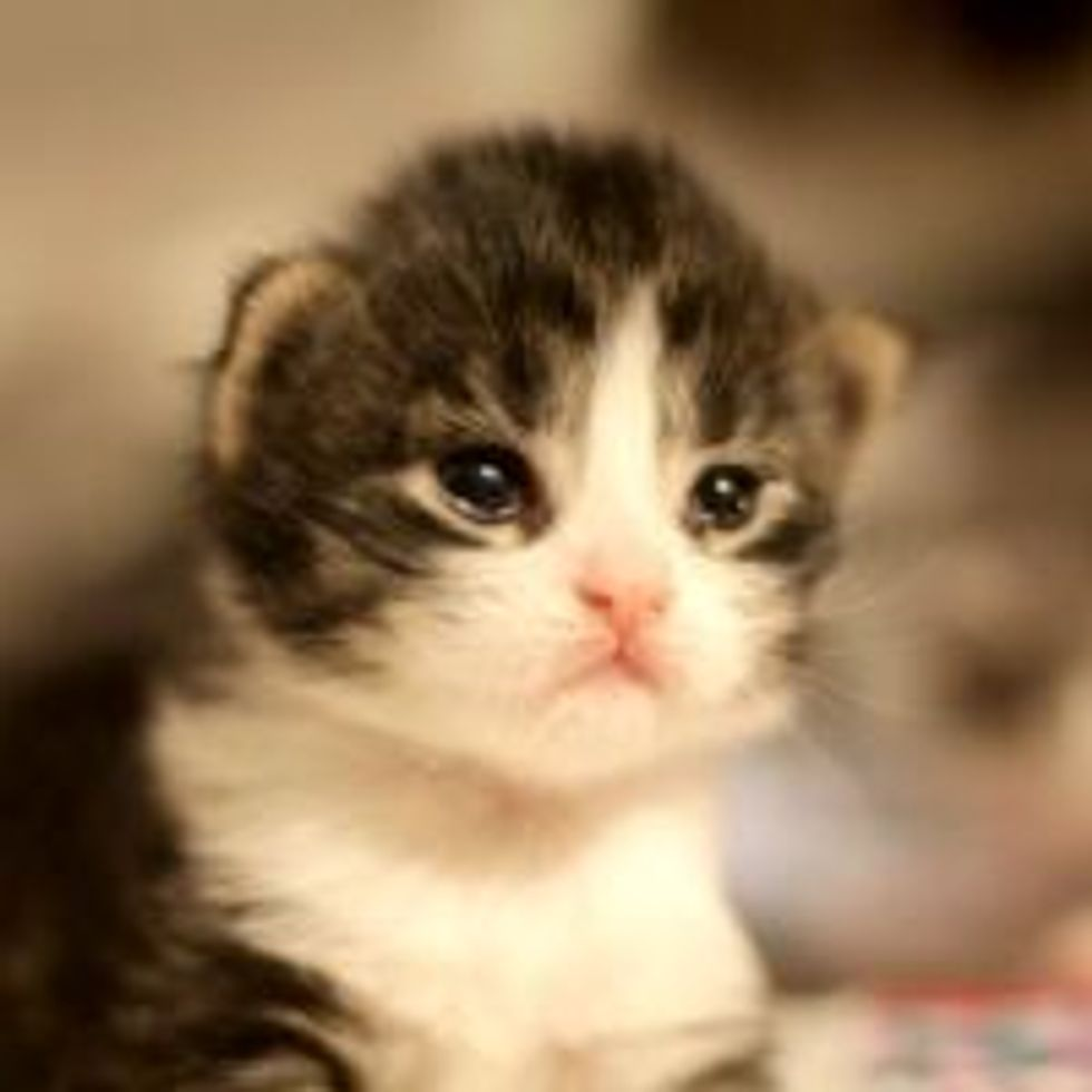 Opal the Kitten from Shelter to Forever Home